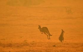 當地時間1月4日,澳大利亞Cooma,兩隻袋鼠在濃煙瀰漫的田野上跳躍。(圖源:互聯網)