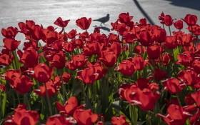 新冠肺炎疫情令花卉需求數量驟減,荷蘭每日被迫銷毀數百萬支鮮花。(圖源:互聯網)
