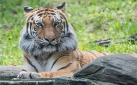 美國紐約市布朗克斯動物園裡的馬來亞虎。(圖源:NBC)