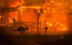 大火中的袋鼠。(圖源:互聯網)