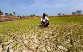 茶榮省水稻田受乾旱及海水入侵日益嚴重。(圖源:TTV)