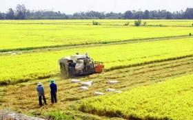 農民在收割稻穀。(圖源:高豐)