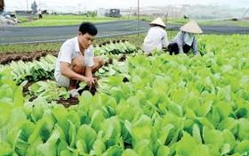 本市農民種植無公害蔬菜。
