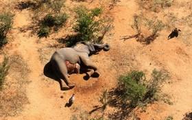 博茨瓦納認定藍藻細菌導致數百頭大象死亡。(圖源:路透社)