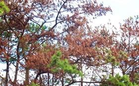 遭下毒而漸漸枯死的松樹。(圖源:金英)