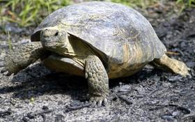 """名叫""""Sparkplug""""的非洲寵物龜。(圖源:互聯網)"""