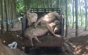 職能力量將感染非洲豬瘟死亡的豬隻進行銷毀。(圖源:黃甲)