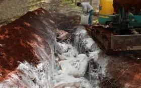 平福省職能力量將感染非洲豬瘟死亡的豬隻按規定進行燒毀。(圖源:VOV)