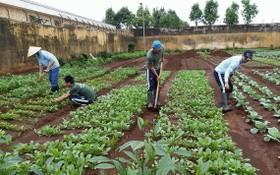 戒毒學員參加種植蔬菜。(圖源:芳蓉)