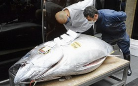 208.4公斤重的青森縣大間產藍鰭金槍魚以當天最高價2084萬日元(約合20萬2000美元)成交。(圖源:路透社)