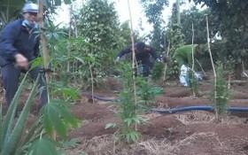 職能力量發現阮文寶的胡椒園內非法種植大量的大麻樹。(圖源:文勇)