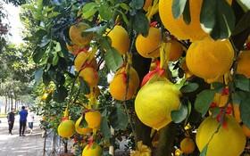 琳瑯滿目的黃柚子盆景。(圖源:N.Trí)