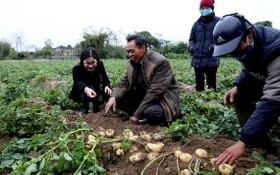 果實碩大的荷蘭Actrice馬鈴薯品種達一等品級別。(圖源:黎富)