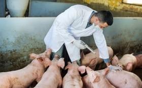 獸醫人員在給豬群接種疫苗。(示意圖源:耀基)