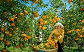 兩名女農夫在收穫紅橘。(圖源:秋莊)