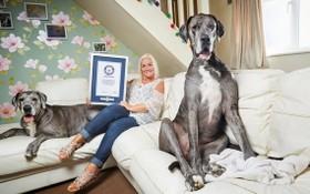 世界上最高的狗狗弗雷迪。(圖源:互聯網)