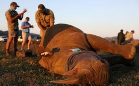 南非環境、林業與漁業部最新數據顯示,去年全國共有394頭犀牛慘遭盜獵者竊取犀牛角而死亡,但已比前年的594頭減少33%,是連續第6年犀牛盜獵活動呈現下降趨勢。圖為獸醫去年5月在該國西北省匹蘭斯堡國家公園照顧一頭犀牛,以免它遭受偷獵犀牛角。 (圖源:路透社)
