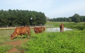 人們在草原上放牛,黃牛主要是供食用。