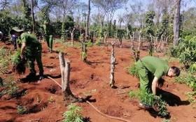 職能力量將非法種植的大麻植物拔除並送去銷毀。(圖源:越通社)