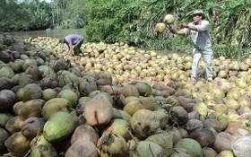 商販在收購幹椰。(圖源:互聯網)