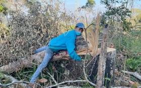 大塊面積的森林遭到大肆砍伐的現場。(圖源:T.X)