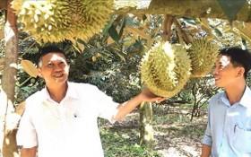 同奈省隆慶市保蓮坊的一名農民與其榴蓮果園。