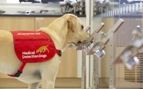 狗隻嗅出新冠肺炎患者 準確度逾 9 成