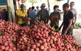 北江省農民收成荔枝後準備出售。(圖源:秋莊)