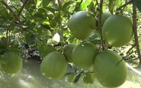 綠皮柚子果園一瞥。(圖源:秋莊)