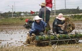 FAO:預計朝鮮今年將缺糧86萬噸。(示意圖源:韓聯社)