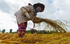 一名越南農民工在泰國北部的清萊收穫水稻。(圖源:聯合國婦女署)