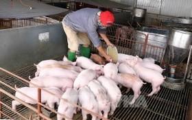 河省靖多地的非洲豬瘟疫情已得到有效控制。(示意圖源:越通社)