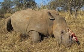南非今年前六個月至少有249頭犀牛慘遭盜獵者殺害。(圖源: 互聯網)