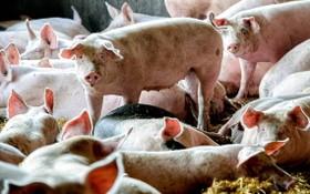 韓國非洲豬瘟中央事故處理本部8日表示,位於江原道高城郡的一家養豬場當天發現非洲豬瘟(ASF)確診病例。(圖源:EPA)