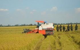330 師戰士們協助農民收割稻穀。(圖源:寶斗)