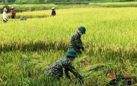9月1日,乂安邊防部隊協助演州縣演海村農民收穫稻穀。(圖源:Infonet)
