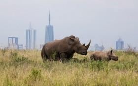 南非目前約有世界上近80%的犀牛。(圖源: 互聯網)