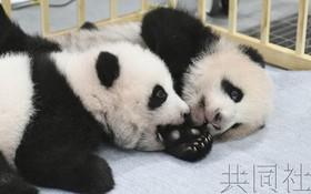日本動物園公佈雙胞胎大熊貓寶寶姓名