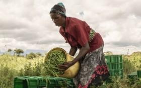 一名肯尼亞婦女在一個合作社農場對收穫的豆子進行分揀。(圖源:聯合國)