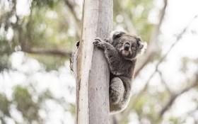 圖為 2020年12月6日,在澳大利亞維多利亞州馬拉庫塔附近,一隻考拉被放歸自然。(圖源:新華社)
