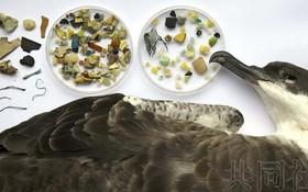 一支由日本研究人員主導的國際研究團隊近期經調查評估,全球大約52%的海鳥體內含有塑料添加劑,因此認為塑料污染對海洋動物的影響日益令人擔憂。(圖源:共同社)