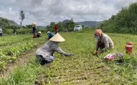 阮友卓僱用當地人種菜。