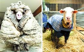 巴拉克剪去羊毛前(左圖)後(右圖)。