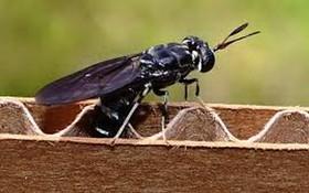 不少昆蟲含豐富的蛋白質,可作魚糧,營養回到自然環境,形成綠色循環經濟。