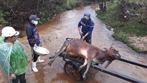 Thousands of cattle in Thua Thien- Hue Province die due to cold