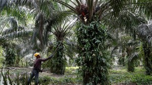 Malaysia is the world's second largest producer of palm oil. (Photo: Reuters)