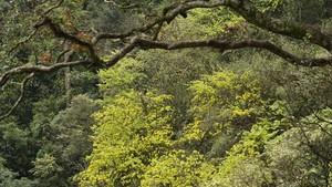 Ancient yellow ochna blossoms adorn Yen Tu peak