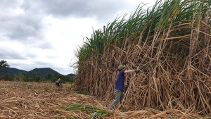 Lacking raw material sugarcane, domestic sugar industry tumbles