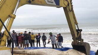 Xác cá voi trôi dạt vào biển Quảng Thọ, Ba Đồn, Quảng Bình