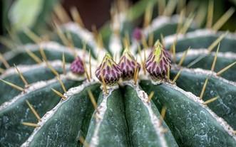既耐熱又耐旱的仙人掌。(圖源:互聯網)